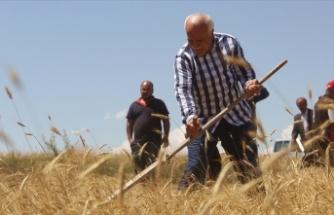 Sivas'ta 7 yıl önce metruk evde bulunan bir avuç ata tohumu buğdaydan 500 dönümde hasat yapıldı