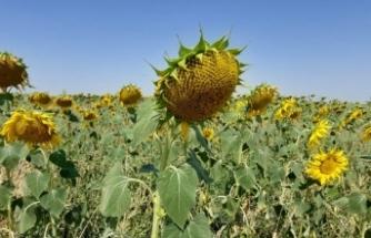 Yerli ve milli ayçiçeği tohumu 2022'de dünya piyasasına çıkıyor