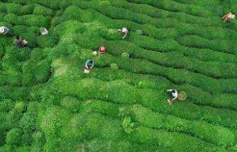 Çay bahçelerinin budanması projesinin süresi 7 yıl uzatıldı