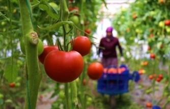 Dayanıklılığı ve lezzetiyle öne çıkan Söğüt domatesine talep artıyor