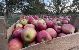 Kastamonu'da yaklaşık 23 bin ton elma rekoltesi bekleniyor