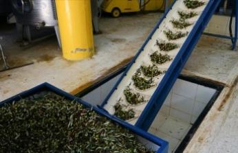 Zeytinin kara suyu yem ve gübreye dönüştürülerek ekonomiye kazandırıldı