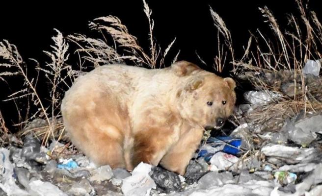 Kış uykusundan uyanan boz ayılar yiyecek bulmak için ilçeye indi