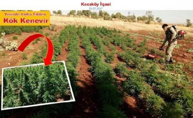 Diyarbakır'da uyuşturucu operasyonda 465 bin kök kenevir ele geçirildi