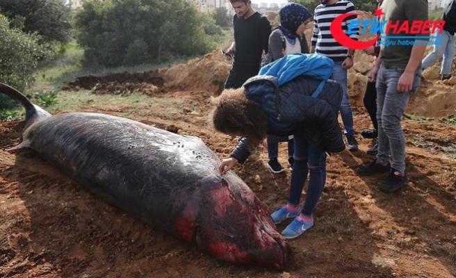 Kıyıya vuran balinanın kemikleri müzede sergilenecek
