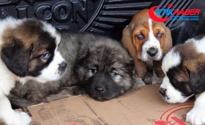 Pazar çantasından kaçak köpek yavruları çıktı