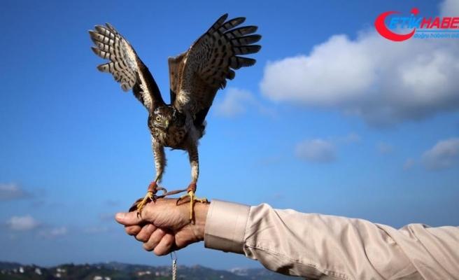 Rize'de 50 atmaca doğaya bırakıldı