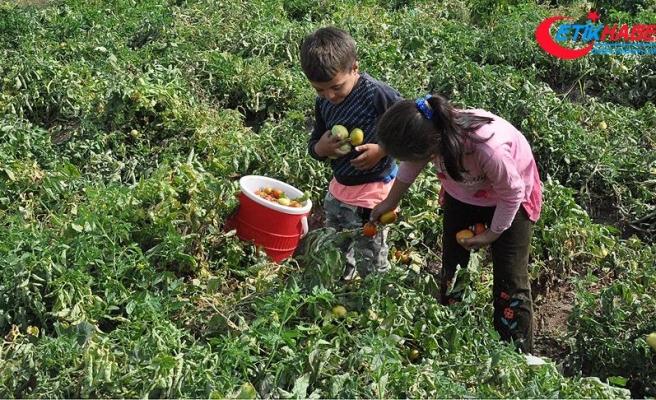 Tarlalarda çalışan çocuklar eğitime kazandırılıyor