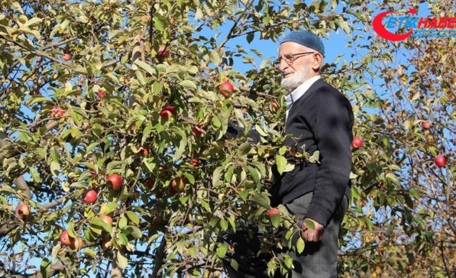 'Misket elması'nın kaybolmaması için fidanlarını ücretsiz dağıtıyor