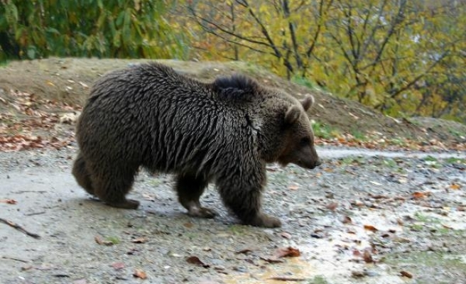 Doğu Karadeniz'de sayıları artan ayılar, kameralı GPS ile takip edilecek
