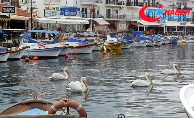 Pelikanlar bu yıl da Foça'da