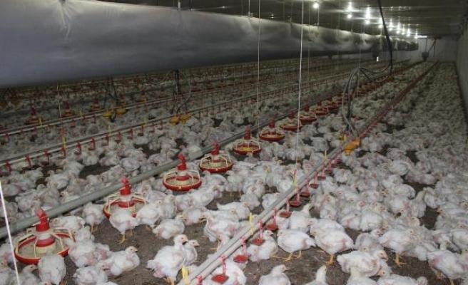 """""""2017 yılında beyaz et üretimi yüzde 13, ihracatı ise yüzde 31 arttı"""""""