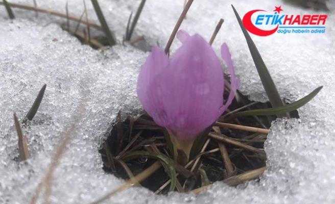 Baharın müjdeleyicisi kardelenler açtı