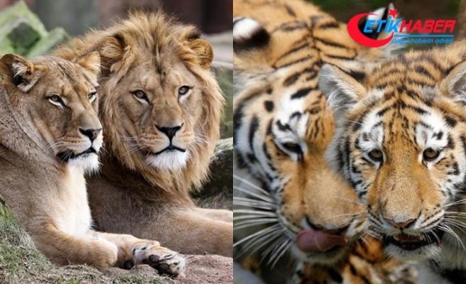 Almanya'da ikişer aslan ve kaplanla bir jaguar hayvanat bahçesinden kaçtı
