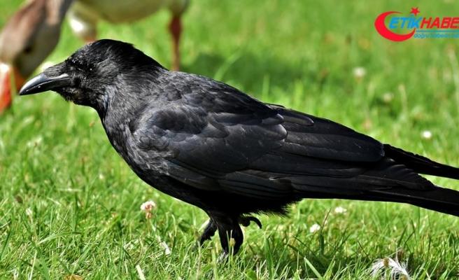 Kuşların en zekisi karga