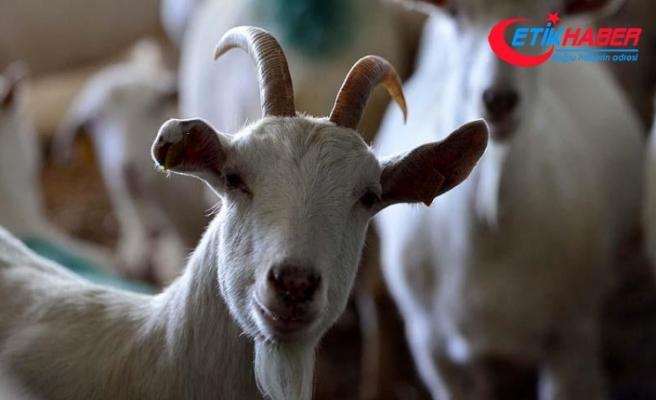 Zeytinlere zarar veriyor diye 22 keçiyi telef etti
