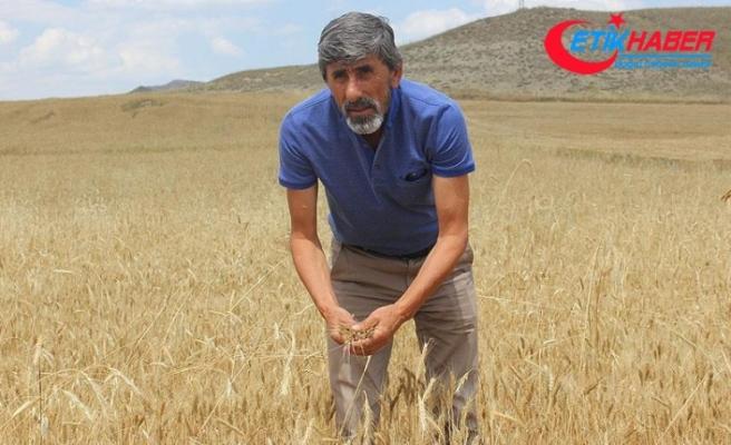 Buğdayda yüksek rekolte beklentisi