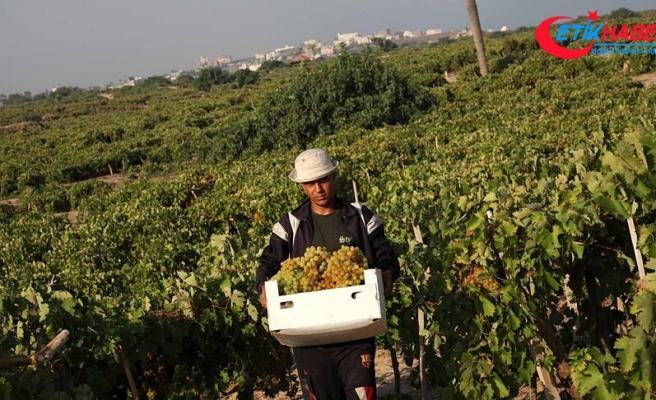 Yahudi yerleşimciler Filistinlilere ait 350 üzüm ağacını kesti