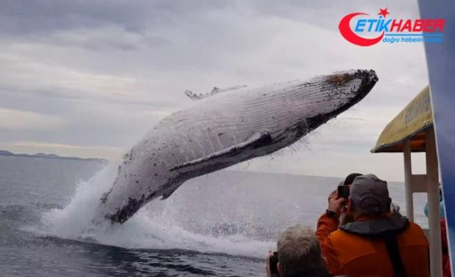 Kambur balinadan muhteşem şov