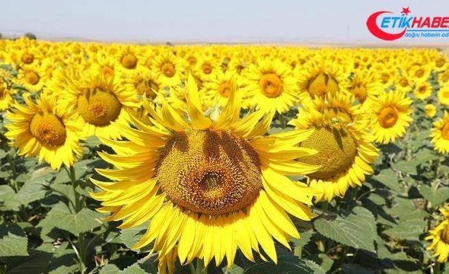 KARADENİZBİRLİK ayçiçeği ön alım fiyatını 2,30 liraya çıkardı