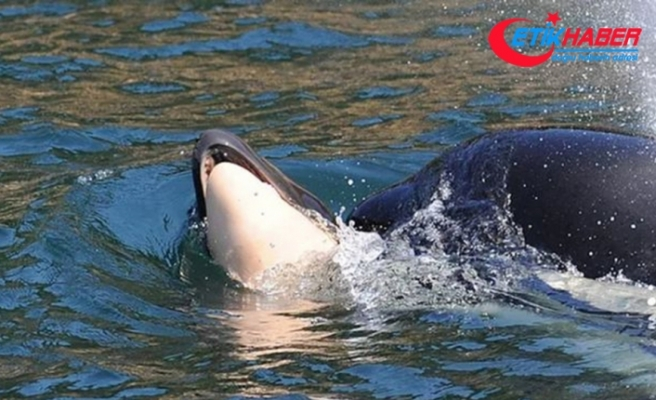 Katil balina ölü yavrusunu 17 gün sonra doğurdu
