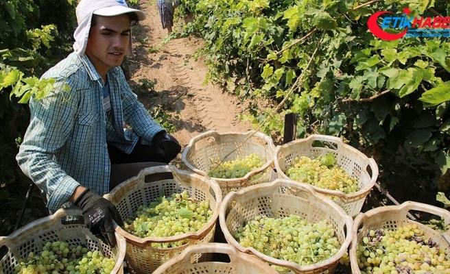 Türkiye'nin yaş üzüm ihracatı yüzde 43 arttı