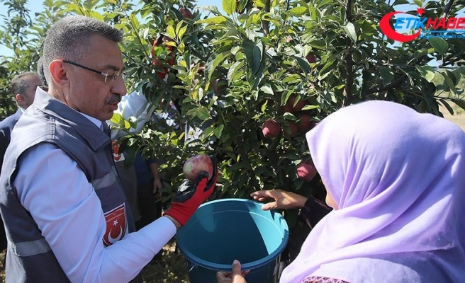 Cumhurbaşkanı Vekili Fuat Oktay elma hasadına katıldı