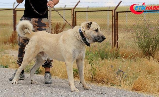 İtalya'da kurt saldırılarına karşı Kangal köpeği önerisi