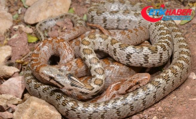 Keşfedilen yeni yılan türüne 'Likyalı' adı verildi