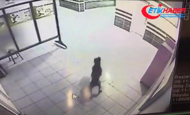 Kocaeli'de okula giren pitbull polis tarafından vuruldu