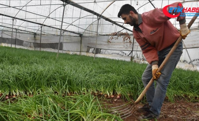 Bilecik'te seralarda hasat heyecanı