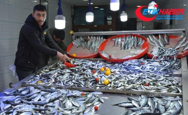 Karadeniz'de istavrit bolluğu