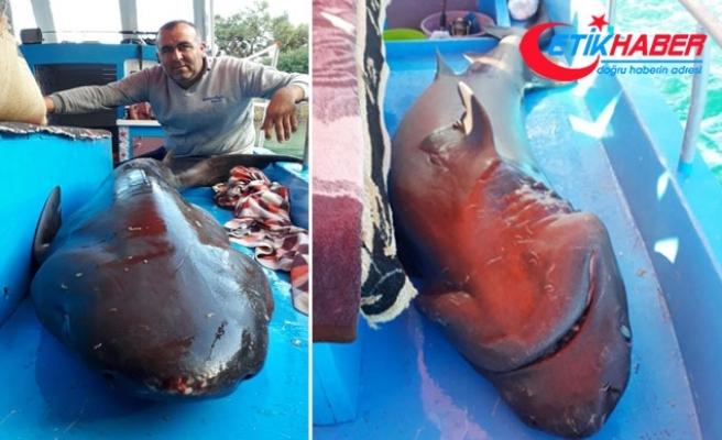 Yakaladıkları 2,5 metrelik köpek balığını denize bıraktılar