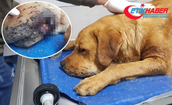Silivri'de sokak köpeği tüfekle vuruldu