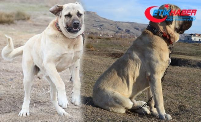 'Aksaray Malaklısı' köpeklere yoğun talep