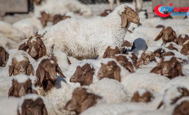 'Elit'lerin kuzularına özel bakım