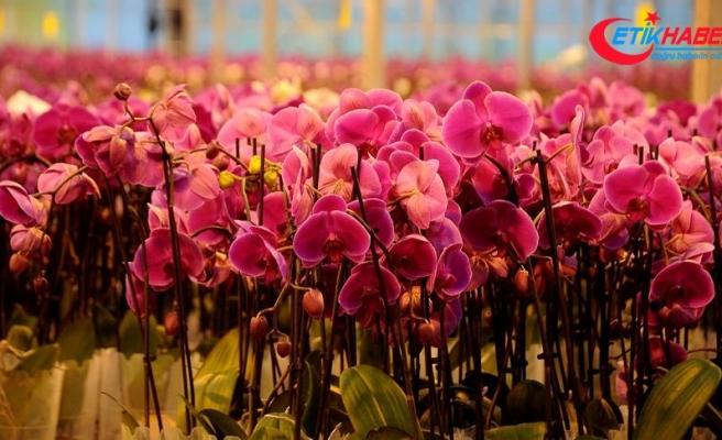 Gül üretimi düştü orkide üretimi arttı