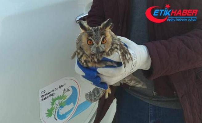 Okul bahçesinde yaralı kulaklı orman baykuşu bulundu