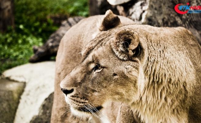 Çekya'da bir kişi beslediği aslan tarafından öldürüldü