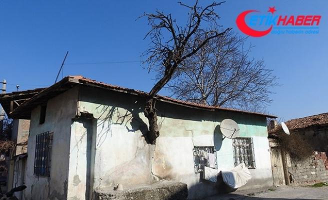 Gövdesi evin duvarı içinde kalan ağaç ilgi çekiyor