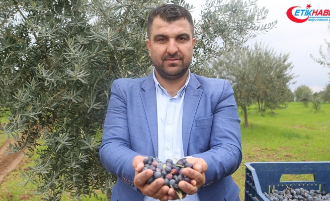 Zeytini, köylüye örnek, mevsimlik işçiye umut oldu