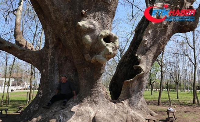 1200 yıllık çınar 'anıt ağaç' olarak tescillendi