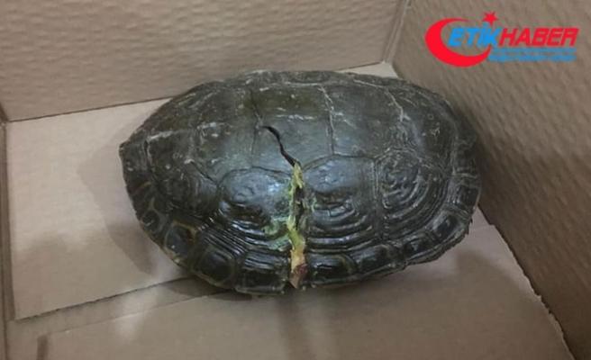Batman'da bulunan kabuğu kırık kaplumbağaya İstanbul'da tedavi