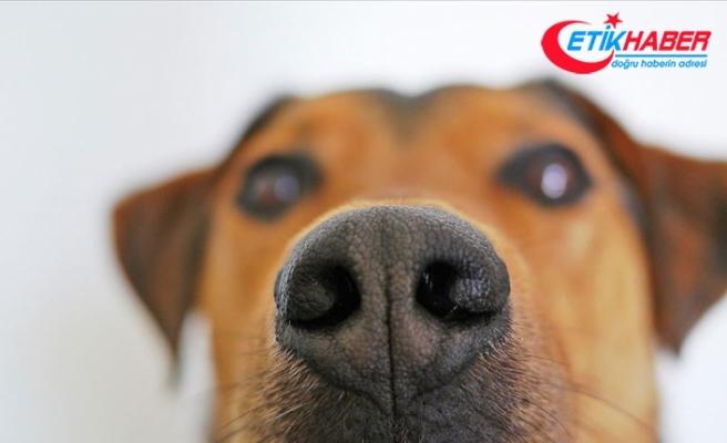 Köpekler kan örneğinde kanseri koklayarak tespit etti