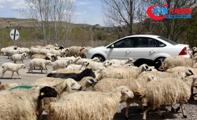 Koyun sürüsü karayoluna çıktı, sürücüler şaştı