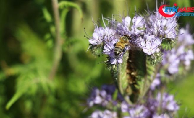 Arı ölümlerine 'arı otu' çare olacak