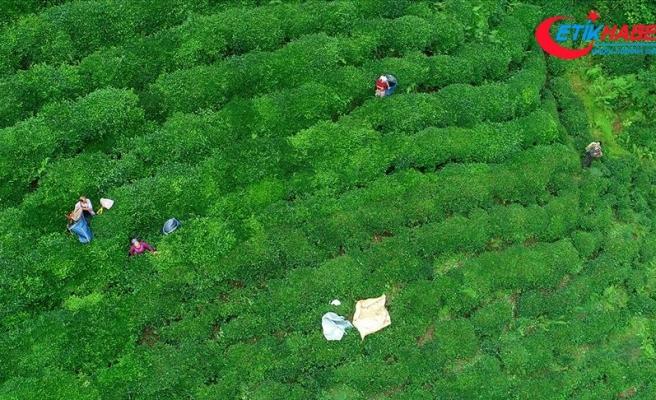 'ÇAYKUR 100 bin tonun üzerinde yaş çay alımı gerçekleştirdi'