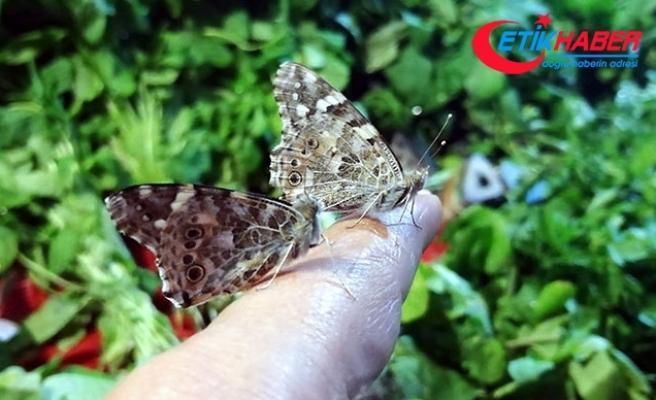 Mersin'e kelebek istilası oldu çiftçilere uyarı yapıldı