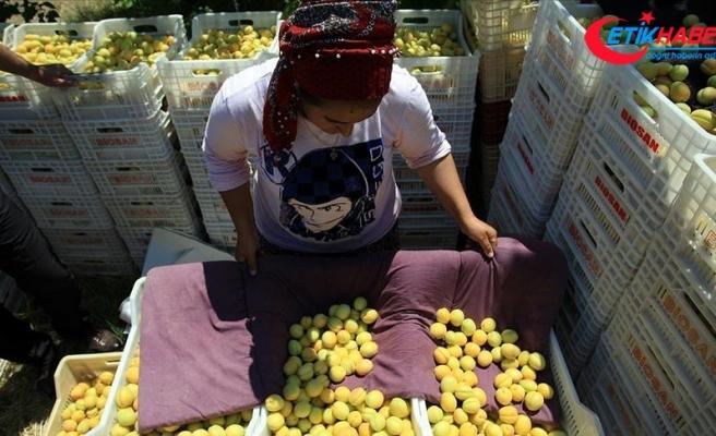 Malatya'da kayısı ihracatı sevinci
