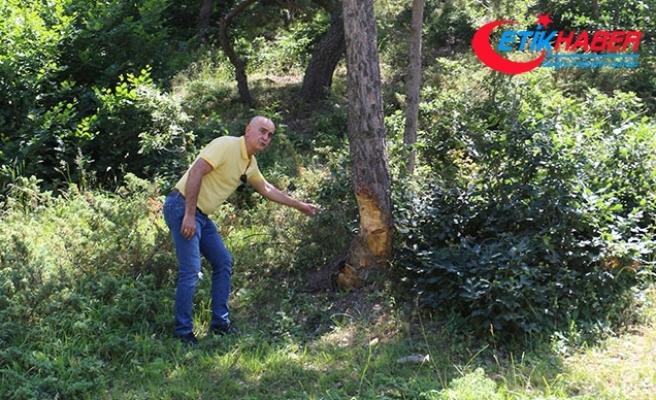 Yayladaki çam ağaçlarına zarar verilmesine tepki